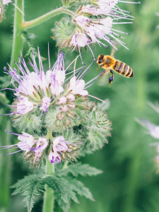 Biene und Phacelia